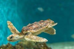 Drago del mare di nuoto Fotografie Stock Libere da Diritti