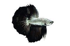 Drago del nero dell'argento del pesce di Betta Immagini Stock Libere da Diritti