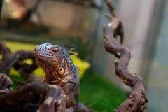 Drago dell'iguana Fotografia Stock