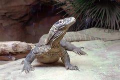 Drago di Comodo allo zoo di Bronx fotografia stock libera da diritti
