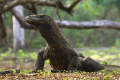 Drago di Komodo Immagine Stock