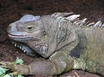 Drago di Komodo Fotografie Stock