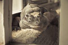 Drago di Komodo che guarda e che sorride alla macchina fotografica Fotografia Stock Libera da Diritti