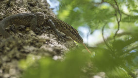 Drago di Komodo del bambino che si nasconde su un albero con la sua lingua fuori Fotografie Stock