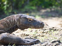 Drago di Komodo, Indonesia fotografia stock libera da diritti