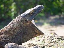Drago di Komodo, Indonesia fotografie stock