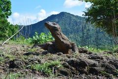 Drago di Komodo, Indonesia fotografie stock libere da diritti