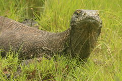 Drago di Komodo (komodoensis) del Varanus, isola di Rinca, Fotografie Stock Libere da Diritti