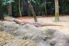 Drago di Komodo in natura Fotografie Stock Libere da Diritti