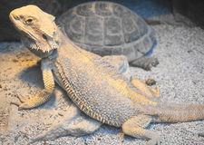 Drago e tartaruga barbuti Fotografia Stock