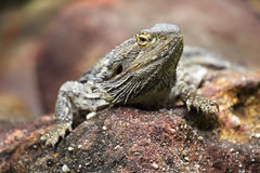 Dragão farpado oriental & x28; Pog Fotos de Stock