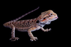 Dragão farpado pequeno isolado no preto Foto de Stock Royalty Free