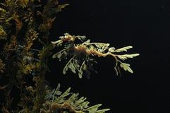 Drago frondoso del mare Fotografia Stock