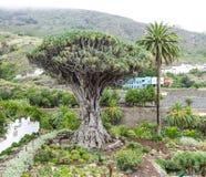 Drago Milenario, draco della dracaena, Tenerife Spagna Fotografia Stock Libera da Diritti