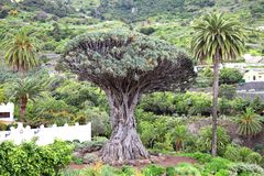 Drago Milenario, Icod de los Vinos, Tenerife Fotografia Stock Libera da Diritti
