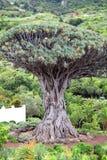 Drago Milenario, Icod de los Vinos, Tenerife Imagens de Stock Royalty Free