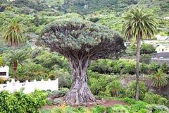 Drago Milenario, Icod de los Vinos, Tenerife Royalty Free Stock Photography
