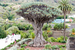 Drago Milenario Millennial Dragon Tree antigo foto de stock