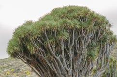 Drago tree in the Canary Islands. Drago tree (Dracaena Draco) in La Palma, Canary Islands Stock Photo