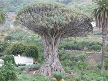 Drago treeMillennial Drago på Canarias, Spanien royaltyfria bilder