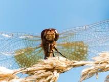 Dragofly rosso cerca sul grano di Brown immagini stock libere da diritti