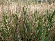 Dragoman Swamp reed. Birds and nature. Bulgaria Hot summer holiday vacations royalty free stock photography