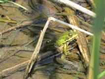 Dragoman Swamp reed and a green frog. Bulgaria Hot summer holiday vacations Royalty Free Stock Images