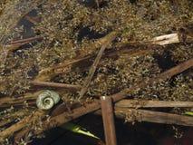 Dragoman Swamp reed and a snail. Bulgaria Hot summer holiday vacations Royalty Free Stock Image