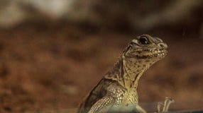 Dragon à ailettes de jeune voile philippine connu sous le nom de pustula de Hydrosaurus Photographie stock libre de droits