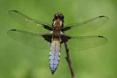 Dragon. Fly (Libellula depressa) on green Royalty Free Stock Images