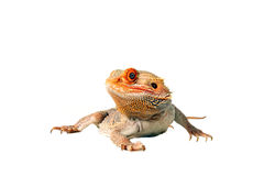 Dragon. Colorful Bearded Dragon isolated on a white background Royalty Free Stock Image
