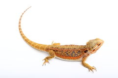 Dragon - agama. Colored lizard on the white background stock image