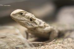 Dragon barbu Images stock