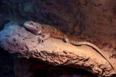 Dragon barbu Photo libre de droits