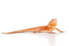 Dragon barbu photographie stock