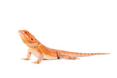 Dragon barbu photographie stock libre de droits