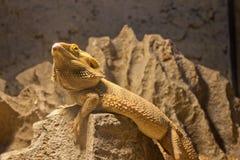 Dragon barbu central Photo stock