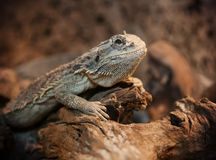 Dragon barbu dans la mini-serre Photographie stock
