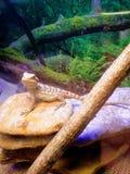 Dragon barbu de chéri photos stock