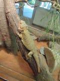Dragon barbu de repos photographie stock libre de droits