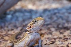 Dragon barbu mâle Photo stock