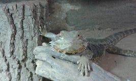 Dragon barbu mignon Photographie stock