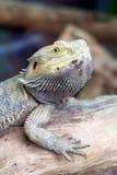 Dragon barbu (Pogona) Images libres de droits