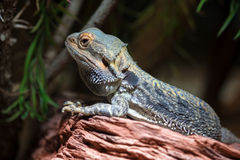 Dragon barbu (Pogona) Image libre de droits