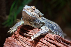 Dragon barbu (Pogona) Photographie stock libre de droits