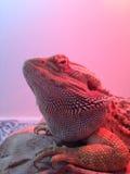 Dragon barbu semblant fâché Photo libre de droits