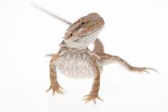 Dragon barbu sur le blanc Images stock