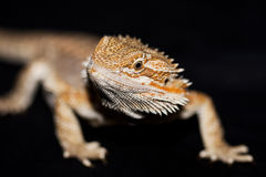 Dragon barbu sur le noir Photographie stock libre de droits