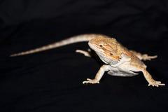 Dragon barbu sur le noir Photographie stock
