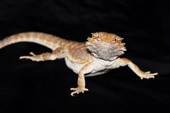 Dragon barbu sur le noir Photo libre de droits